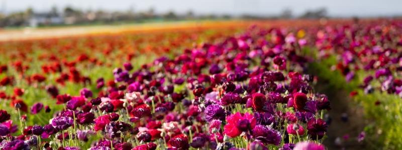 Carlsbad CA flowers
